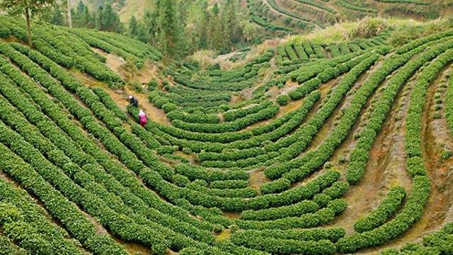 福建寿宁:防疫生产两不误 春茶开采促增收