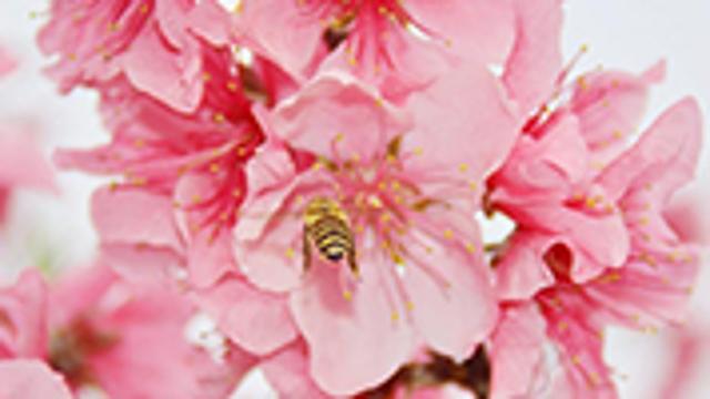 十里桃花争相绽放 春色南山美景如画