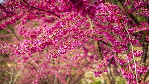 周宁县李墩际头村:300亩茶园中樱花盛开,绝美!