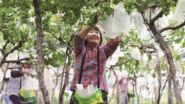 霞浦柏洋:晚熟葡萄丰收在望