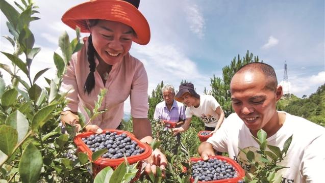 寿宁县芹洋乡九峯家庭农场的蓝莓喜迎丰收